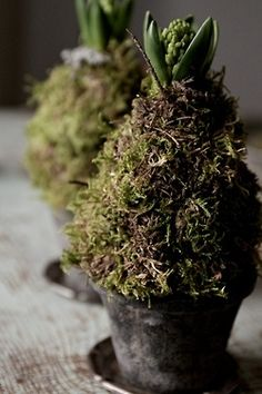 moss covered bulbs