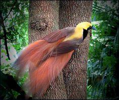 A ave-do-paraíso pode ser encontrada nas regiões tropicais do Norte da Austrália, Nova Guiné, Indonésia e Ilhas Molucas.