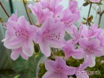 Rhododendron schlippenbachii  20+ semien