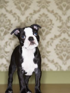 Ty Is An Adoptable Boston Terrier Dog In Statesville Nc Ty Has
