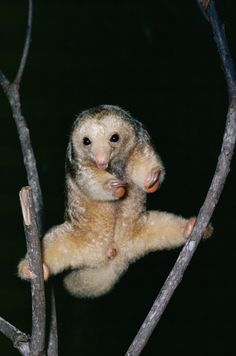 Anteater Pygmy Silky (Cyclopes didactylus)