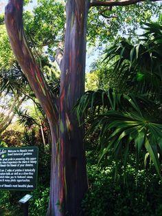 Secret Garden of Maui, Paia, Maui, Hawaii — by Ana Morales. Rainbow Eucalyptus tree