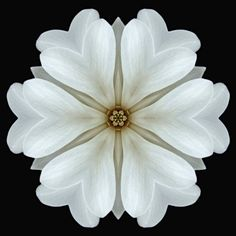 Flower Mandalas Project; White Magnolia Blossom I; Copyright 2006, David J. Bookbinder