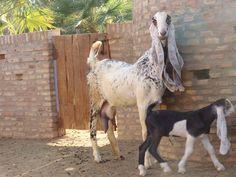 Hijazi goats