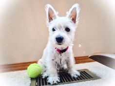 <3 molly loves the heat from the vent & her tennis ball!
