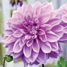 Dahlia 'Blue Wish' - Spring plants and bulbs 2013 - Thompson & Morgan