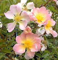 Pink Mermaid est un rosier liane à grandes églantines roses au centre jaune, légèrement parfumées. La floraison principale à lieu en juin puis remonte légèrement à l'automne. Feuillage vert foncé et brillant. Origine inconnue, 1960.