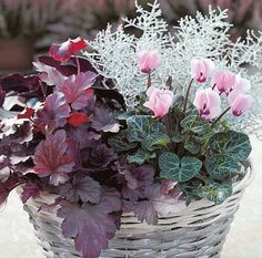 Dark fairy flower, gray silver lacquer and aniline cyclam . Dark fairy flower, gray silver lacquer and aniline cyclamen go well together. Balcony Flowers, Flower Planters, Flower Pots, Flowers Garden, Container Flowers, Container Plants, Container Gardening, Deco Floral, Winter Flowers