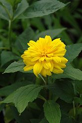 hilianthus loddon gold sunflower- information