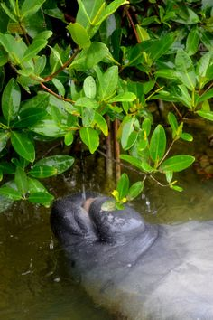 A Manatee gets a drink of fresh water, as rain falls from the leaves of Mangrove Trees.