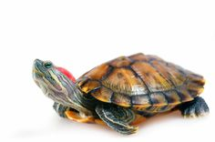 i seriously need a pet turtle