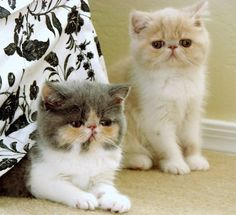 I want a kitten with a smushed face like this! Except I want an orange one with white stripes!