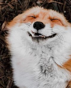 "calldres: "" everythingfox: "" That face 😂 Juniper the Fox "" this looks like a disney character, like a fat happy fox chef that makes the protagonist's favorite noodles "" Pretty Animals, Cute Little Animals, Cute Funny Animals, Animals Beautiful, Funny Foxes, Happy Animals, Nature Animals, Animals And Pets, Art Fox"