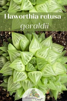 """Haworthia retusa f. geraldii (Duval): A fantastic indoor grower, even for the succulent beginner. The leaves of this medium rosette are recurved, meaning they bend slightly backward like a thumb. The triangular leaf tips are lined with translucent """"leaf windows"""" that help the plant tolerate low light. #indoorsucculents #affiliatelink #haworthia Indoor Succulents, Succulent Bonsai, Succulent Care, Succulent Arrangements, Succulents Diy, Planting Succulents, Indoor Plants, Lower Lights, Pet Safe"""