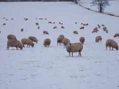 Cold in the field for these sheep