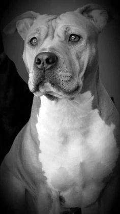 Love...love this B & W pit bull photo!