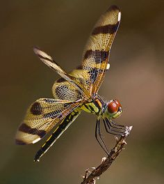 The Halloween Pennant Dragonfly is commonly found in Central and east North America, particularly in Florida. (Photo by Pedro Lastra)