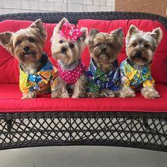 #Repost @fouryorkiesmom Sammy Allie Oliver & Max TGIF y'all! Happy Birthday to our friend Nina @terry013 #ninaalohabdayluau