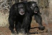 "WASHINGTON (AP) — It's official: The National Institutes of Health plans to end most use of chimpanzees in government medical research, saying humans' closest relatives ""deserve special respect. Primates, Washington, Ape Monkey, National Institutes Of Health, Medical Research, Animals And Pets, Wildlife, Monkeys, Retirement"