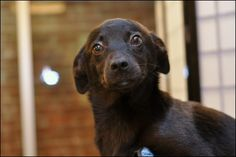 Biscuit: A 3 MO Terrier/Lab Mix. You look interesting. I find you interesting.