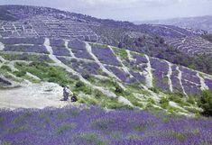 Lavender fields on Island Hvar, Croatia