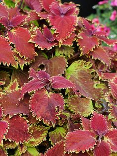 Coleus 'King Crab' - A stunning new member of the Coleus family. A mixture of deep red and chartreuse and beautifully serrated leaves make it a must have. Equally at home in sun or shade.