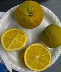 Hardy Citrus: December 2013