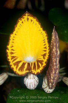Carnivorous plant - Amazon