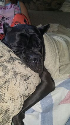 Pridenjoyz Cane Corso - Lusso who really thinks he is human. 3years old