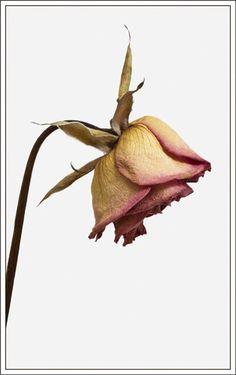 Dead Rose Tattoo, Decay Art, A Level Art, Level 3, Rose Art, Watercolor Rose, Whimsical Art, Botanical Art, Ladies Day