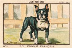 french bulldog 1933-34