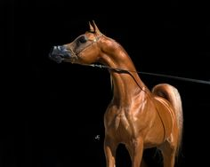 arabian horse                                                       …