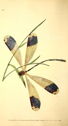 Caerulean Dragonfly. Plate from 'The Naturalist's Repository' by E. Donovan. Published 1823. London.