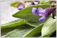 20 Amazing Benefits Of Sage Herb For Skin, Hair And Health This is a very informative article. I'm very happy I stumbled on it because I have a very out of control sage plant growing in my herb garden! Clary Sage Essential Oil, Essential Oils, Menopause, Sage Benefits, Health Benefits, Supplements For Diabetes, Sage Uses, Sage Herb, Limpieza Natural