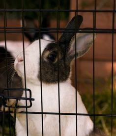 Bob Bode provides tips and tricks on raising rabbits for food, including housing, watering, and feeding ideas. Originally published as