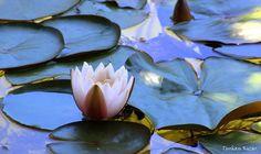 Bolu - Gölcük - Nilüfer Çiçekleri  Fotoğraflar: Turhan Kızar