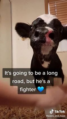 Cute Funny Dogs, Cute Cows, Cute Funny Animals, Cute Animal Photos, Cute Animal Videos, Funny Cow Videos, Cute Baby Cow, Baby Cows, Super Cute Animals
