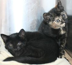 URGENT! Greenville, SC * Intake: 5/14 Available: Now  NAME: Judy & Gil  ANIMAL ID: 27832365-2356 BREED: DSH  SEX: Female & Male  EST. AGE: 9 weeks  Est Weight: 2.5-2.14 lbs  Health:  Temperament: Friendly  ADDITIONAL INFO: O/S  RESCUE PULL FEE: $49(each)