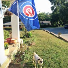 Pug loves the Cubs!