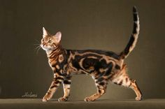 Bengal cats are more like dogs, actually. They're huge as well.  Love this cat