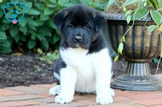 This amazing Akita puppy is sweet and raised with children. She is ACA registered and she is vet checked, vaccinated, wormed and comes with a 1 year Akita Puppies For Sale, Cute Puppies For Sale, Dogs And Puppies, Corgi Puppies, Equine Photography, Animal Photography, Black Labrador, Black Labs, Dog Grooming Business