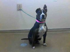 DORA-ID#A694562    My name is DORA.    I am a female, black and brown Pit Bull Terrier mix.    The shelter staff think I am about 8 months old.    I have been at the shelter since Jan 18, 2013.