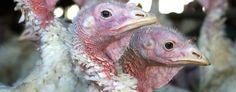 Bird flu outbreak expands in Minnesota, N. Dakota (AP)