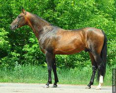 Akhal-teke horses for sale - Shet-Shael(Saivan - Sharida-Shael)