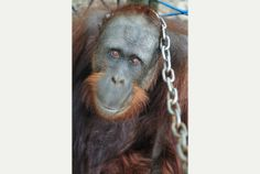 BOYCOTT products with Palm Oil and Palm Oil Derivatives - Help SAVE the Orangutans before it's too late