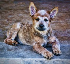 This cattle dog looks like a deer!