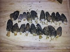 Frederick Maryland Morels | Morels.com - Morel Mushrooms and Morel Mushroom Hunting