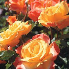 Rio Samba Rose - My Favorite Rose (Starts yellow ane blushes orange/pink).  Highly recommend!!!!
