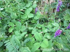 Cover Crops For Gardens - Build Soil/Control Pests With Cover Crops