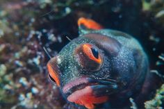 Panamic Barnacle Blenny - by Ivan Carmigniani